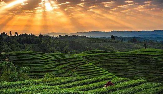 亳州茶业阿里巴巴店铺运营案例展示